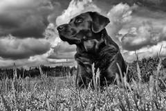 cloud dynamics (uwe.kast) Tags: labrador labradorretriever labradorredriver hund haustier dog clouds dynamics panasonic lumix g9 leica leicadg1260f2840 landschaft blackandwhite