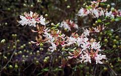 Mountain Azalea (Fiddling Bob) Tags: floral blossoms azalea mountainazalea film vintagecameras manualfocus spotmatic m42 takumar