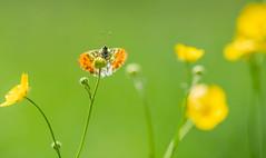 A spot of orange on Kingsday (Gilbert de Bruijn) Tags: butterfly vlinder orange oranjetipje orangetip