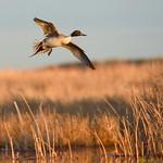 bird Northern pintail on Seedskadee NWR 83 thumbnail
