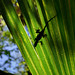 Silhouette of a Brown anole on a backlit Saw palmetto leaf in Big Cypress National Preserve, South Florida this morning