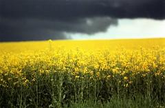 Champs de colza et ciel d'orage (Philippe_28) Tags: négatif fujicolor c200 colza rape argentique analogue camera photography photographie film 135 tetenal c41