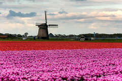 Bollenvelden Noord-Holland (johan wieland) Tags: johanwieland 2019 flowers mill molen tulip tulips tulp tulpen