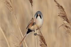 Bearded Tit (Hammerchewer) Tags: beardedtit bird male wildlife outdoor