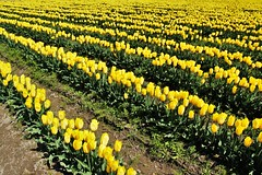 More Yellow Rows (sea turtle) Tags: yellow skagitvalley skagit skagitcounty tulip tulips tulipfield tulipfields flower flowers skagitvalleytulipfestival northwest pacificnorthwest washington washingtonstate laconner mountvernon