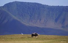 Cape Buffalo Syncerus caffer (nik.borrow) Tags: mammal buffalo bovine ngorongoro
