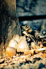 Fungi.... (Alvaro.sh) Tags: canon canont5 canon1200d chile calle 1200d 30mmf14dc|a 30mmsigma 30mm fungus autumn otoño sigma sigma30 sunset