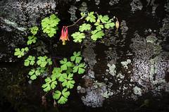 Columbine (Heather Cormons) Tags: flower nature outdoors outside plant columbine d610 shenandoahnationalpark virginia natural landscape