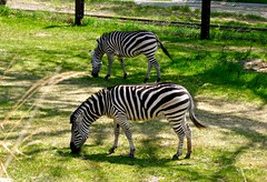 Zebra's grazing, Henry Doorly Zoo (ali eminov) Tags: omaha nebraska zoos henrydoorlyzoo animals zebras
