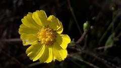 2019-04-27_07-02-32 (o.cleonice) Tags: flor amarelo cerrado linda beleza brasil natureza nature sereno gotículas