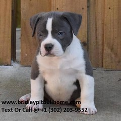 Local Pitbull Puppies for Sale Online Near Me (bridleypitbullhome) Tags: bully pitbull for sale online