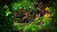 Mother and 3 Cubs. (mond.raymond1904) Tags: river dublin dodder cubs fox 2019