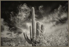 Sabono Canyon IR #36 2019; Saguaro & Clouds (hamsiksa) Tags: landscape desertscape arizona sonorandesert desert mountains santacatalinamountains coronadonationalforest sabinocanyonnationalrecreationarea plants flora desertplants desertflora xerophytes succulents cacti cactus cactaceae saguaros carnegieagigantea pimacounty blackwhite infrared digitalinfrared clouds
