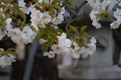 If cold spring comes ... (hitsujida) Tags: canon g7xmkii ordinary everyday city town flower koyo 街 日常 京都 花