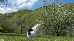 Richard + Apple Tree + Woods + Green Grass + Blue Sky ☼ (Xena*best friend*) Tags: richardgere rg appletree bluesky greengrass whitecat cats whiskers feline katzen gatto gato chats furry fur pussycat feral tiger pets kittens kitty animals piedmontitaly piemonte canoneos760d italy wood woods wildanimals wild paws calico markings ©allrightsreserved purr digitalrebelt6s efs18135mm flickr outdoor animal pet photo nature spring