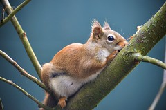 Filled with nuts. (Daantje1704) Tags: squirrel eekhoorn animal portrait redsquirrel treesquirrel rodent nature eichhörnchen nikon