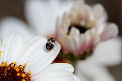 **Shall I Jump?** (**klaracolor**) Tags: beetle bug animal kever klara klarathomas klaracolor anthrenusflavidulus anthrenus fauna flora flower flowers daisy dermestidae spekkever garden gardenflower canon canon7d macro macro100mm