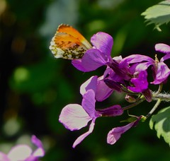 Oranje tipje . . . . Orange tip (Fijgje On/Off) Tags: anthochariscardamines oranjetipje orangetip vlinder butterfly judaspenning bloem flower fijgje panasonicdmctz60 april2019