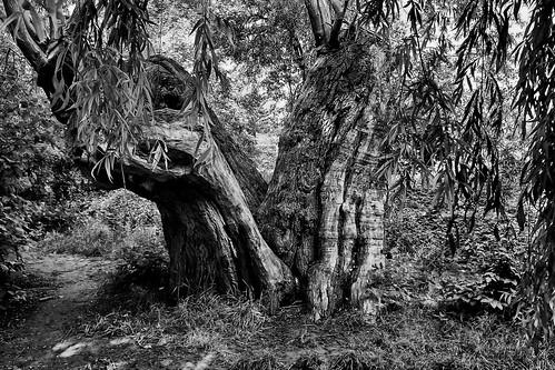 Le vieil arbre en V