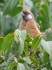 Speckled Mousebird Colius striatus kikuyuensis (nik.borrow) Tags: bird mousebird ngorongoro