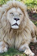 Cozy white lion
