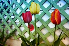 Three (kendoman26) Tags: flowers tulips nikcoloreffex4pro hss happyslidersunday sonyalpha sonya6000 sonyphotographing selp1650