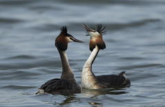Great Crested Grebes (Ann and Chris) Tags: grebes pair wildlife beautiful nature lake lovely courtship waterbirds