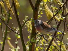 Bluthänfling.... (wernerlohmanns) Tags: finken singvögel stieglitzartige deutschland vögel outdoor natur wildlife nikond7200 schärfentiefe sigma150600c nabu nsg tisterbauernmoor