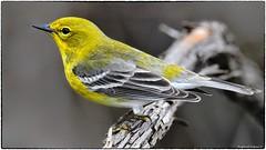 Pine warbler (RKop) Tags: warbler warblers cincinnatinaturecenter ohio raphaelkopanphotography d500 600mmf4evr 14xtciii nikon