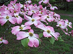 ~   Spring Time Colors In Tennessee..... (~ Cindy~) Tags: backyarddogwoodtree tennessee spring
