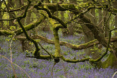 Mossy Branches (Sue_Hutton) Tags: april2019 burleighwoods loughborough spring ancientwoodland bluebells mossybranches