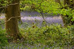 Brambles forging through (Sue_Hutton) Tags: april2019 burleighwoods loughborough spring ancientwoodland bluebells
