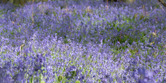 Shimmer of Blue (Sue_Hutton) Tags: april2019 burleighwoods loughborough spring ancientwoodland bluebells