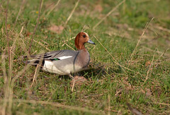 Mareca penelope (Papchinskaya) Tags: eurasian wigeon