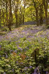 Up the Slope (Sue_Hutton) Tags: april2019 burleighwoods loughborough spring ancientwoodland bluebells
