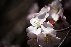 北海道神宮 (rakyooooo) Tags: 桜 梅