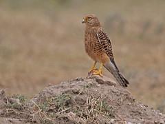 Greater Kestrel Falco rupicoloides arthuri (nik.borrow) Tags: bird falcon kestrel raptor ngorongoro