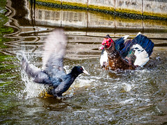 Warzone (Marc Rauw.) Tags: birds coot waterbird water fight action nature feathers anger territory springtime drops waves olympusomdem5markii olympus omd em5 mzuiko40150mmpro mzuiko 40150mm microfourthirds m43 μ43 animal fauna bird