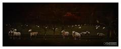 Field of Dreams (Explored and then 'bonked') (OATH Photography by Alison Richards) Tags: sheep farmanimals livestock fleece flock herd scatteredsheep farming field grass green trees painterly ashbydelazouch englandunitedkingdom