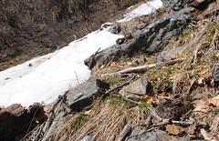 Vipera berus (aspisatra) Tags: viperaberus vipera berus adder snake serpente viper vipère péliade marasso ticino neve primavera