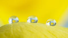 Droplets (Dibbly Dobbler) Tags: fujixt2 canon 100mm droplet macro
