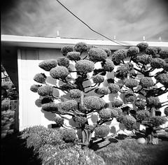 El Cerrito, CA garden (Timothy Lewis Jr.) Tags: analoguefilm analogue holgaphotos holga120n plasticlens blackandwhite blackandwhitefilm bw building trix trixpushed2stops trix120 orangefilter kodaktrix