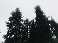 Happy lil pines (WallisColours) Tags: seattle washington pacific northwest summer cloudy overcast west coast pine trees