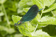 Beautiful Demoiselle (wayne.withers1970) Tags: small pretty demoiselle beautiful wings color colorful nature natural colour colourful wild wildlife wales spring summer macromonday flickr dof bokeh naturephotography country countryside outside outdoors alive fauna flora canon sigma light blur black white blue green lake river fine net mesh dragonfly dark macro macromondays invertebrate bug animal insect plant vegetation leaves cardiff june