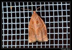 Archips rosana (cquintin) Tags: arthropoda lepidoptera tortricidae archips rosana macroinsectes