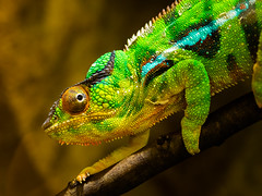 colourful nature (Klaus Lechten) Tags: chameleon auge beweglich farben colors echse tarnung camouflage reptil olympusomd olympus50mm animal reptilie klauslechten