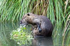 Ragondin (Ezzo33) Tags: myocastorcoypus ragondin france gironde nouvelleaquitaine bordeaux ezzo33 nammour ezzat sony rx10m3 mammifère animal animaux mammifères