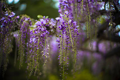 Whispers of Wisteria (moaan) Tags: tanba hyogo japan jp flower flowering flora wisteria springtime april outdoor focus foreground selectivefocus bokeh bokehphotography dof leica leicamp noctilux 50mm f10 noctilux50mmf10 leicanoctilux50mmf10 utata 2019