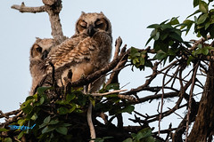 untitled-53404.jpg (dialaspc) Tags: owlraptorbirdft desoto