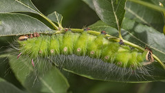 Eacles imperialis 2019.03.23_01 (carmen chase) Tags: argentina argentine fotomacrografía photomacrography macrofotografía macrophotography action acción macro insect insecto animalia arthropoda insecta lepidoptera bombycoidea saturniidae eacles imperialis opaca imperial moth polilla butterfly mariposa a7riii ilce7rm3 sony scan escán telemacro recs